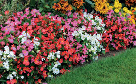Work with bedding plants