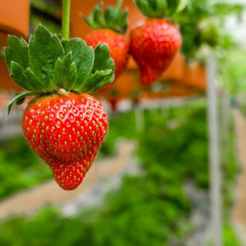 Work at strawberries (seasonal work)